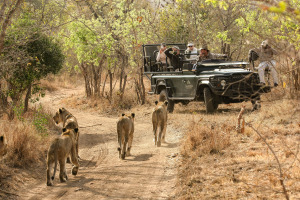 Lions as seen from a game drive