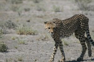 Cheetah in the Kalahari