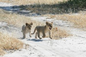 Roar! Baby lion cubs